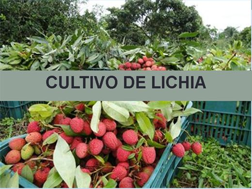 Curso Online de CULTIVO DE LICHIA