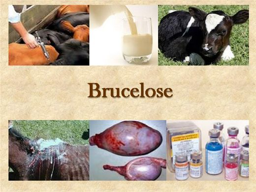 Curso Online de Brucelose