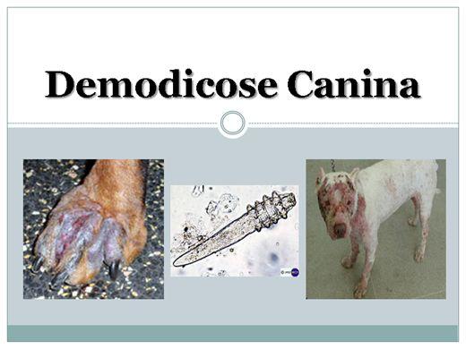 Curso Online de Demodicose Canina