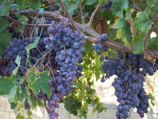 Curso Online de Como fazer suco e geleia de uva